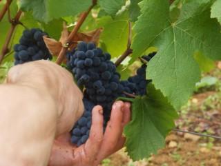 Millésime 2015 en Bourgogne : avantage aux rouges !
